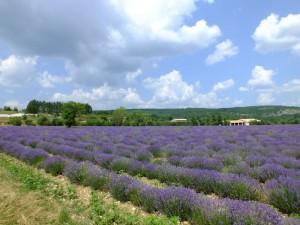 Eins der Lavendelfelder in der der Provence
